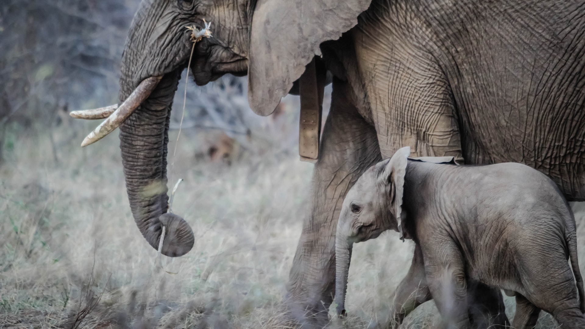 Vibrations give new way to track elephants